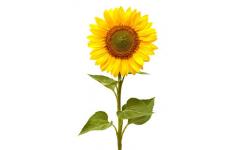 tisane anti-fatigue fleur de tournesol